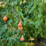 L'albero di pere di Tre Casiedde
