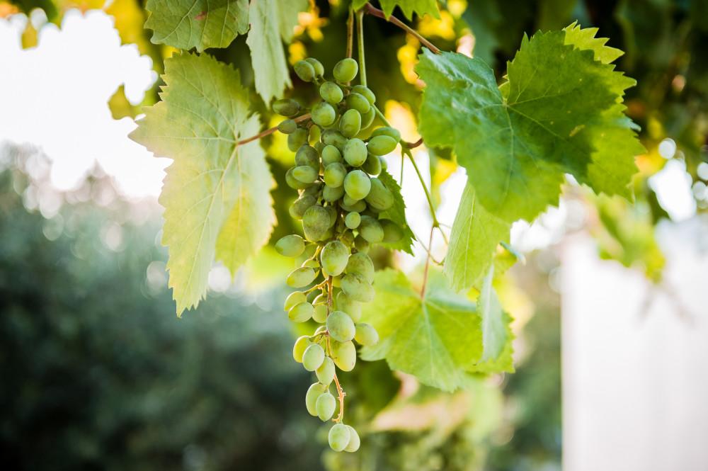 L'uva cresce rigogliosa nel boschetto di Tre Casiedde