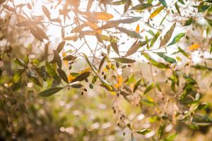 Ulivi baciati dal sole pugliese a Tre Casiedde