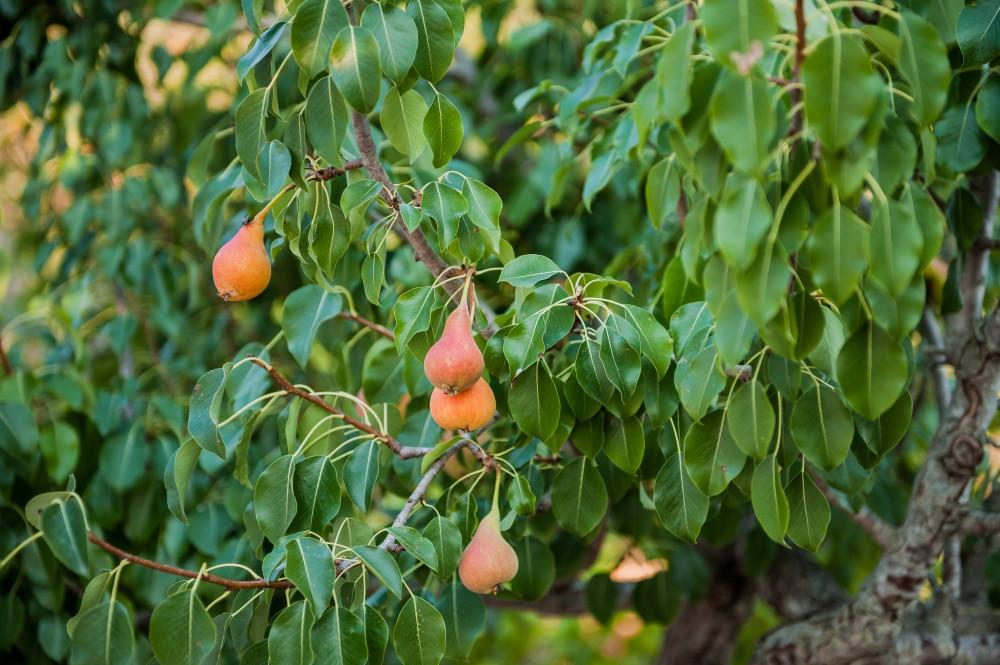 Il nostro magnifico albero di pere