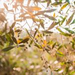 Gli ulivi del boschetto di Tre Casiedde, casa vacanze in Puglia