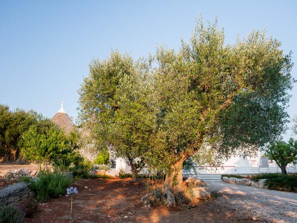 Gli ulivi pugliesi sono presenti nel giardino di Tre Casiedde